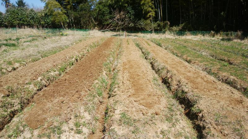 ジャガイモを植え付けました。