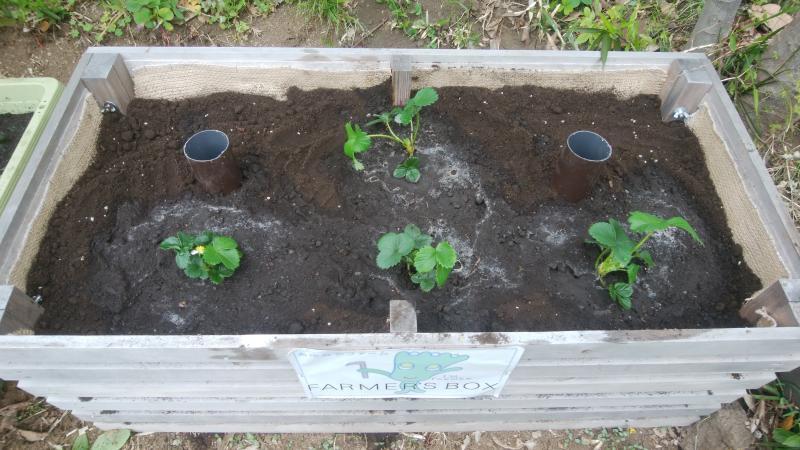 今年もイチゴの栽培を始めます。