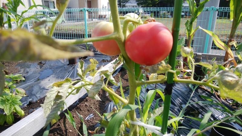 トマトが色づいて来ました。