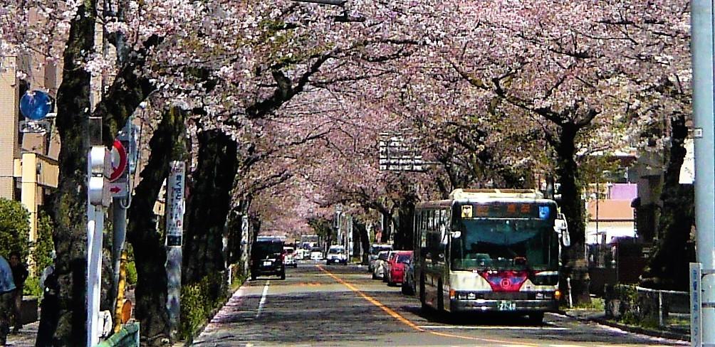 関東バスと桜並木