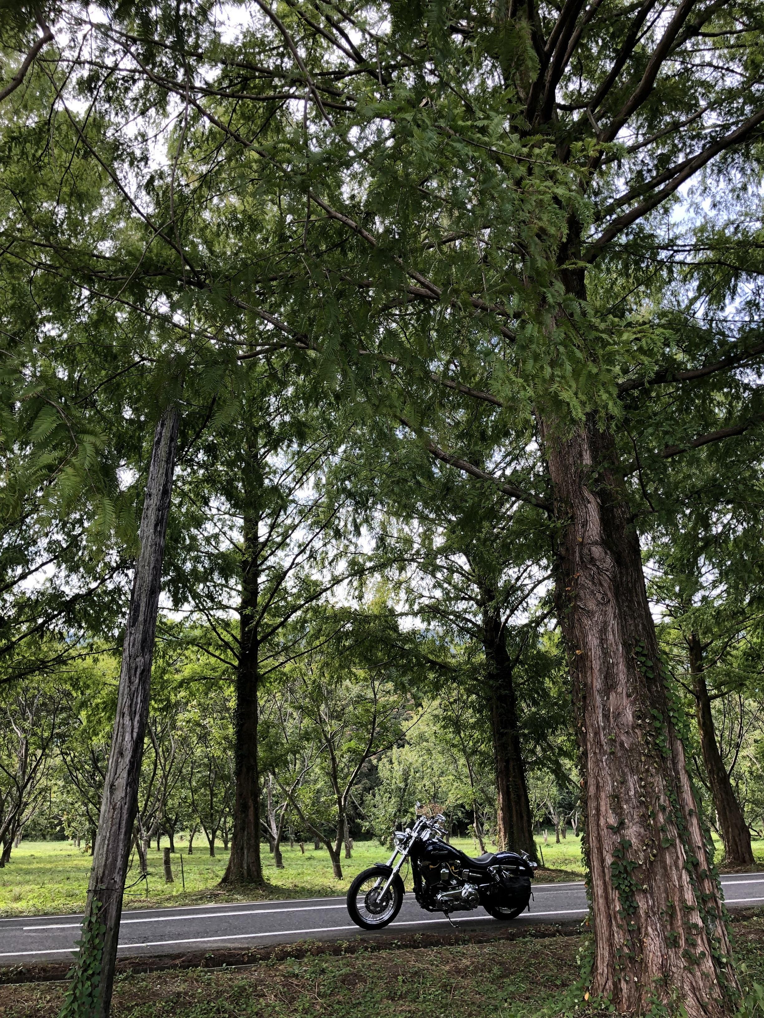 ぴーきち&ダイナ ハーレーで行くメタセコイア並木 メタセコイア並木 到着