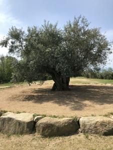 小豆島 ツーリング オリーブの木