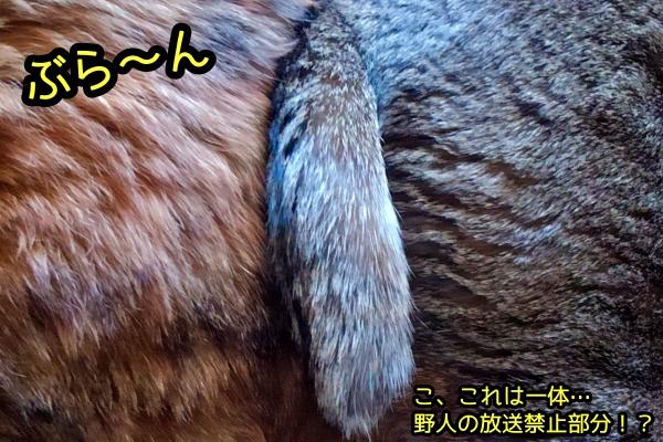 猫の尻尾 お尻合い