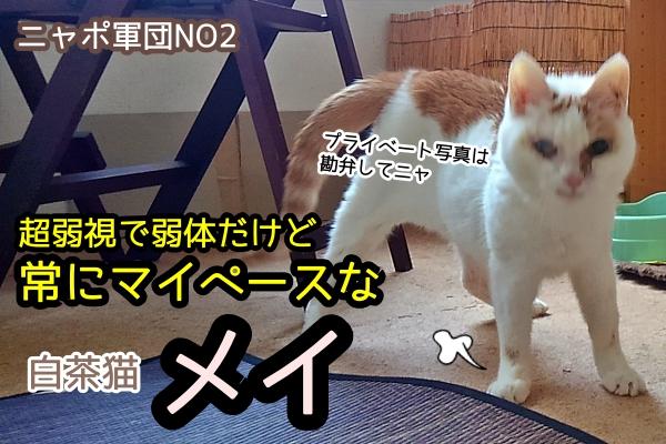 白茶猫 メイ
