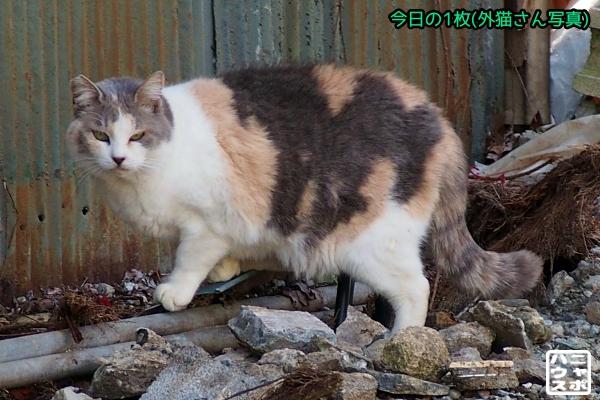 デブ猫 三毛猫