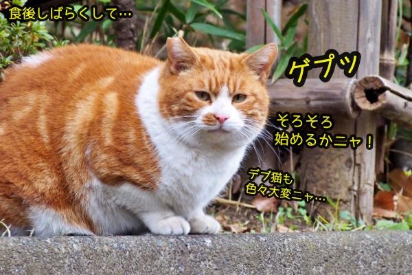 茶白猫 デブ猫