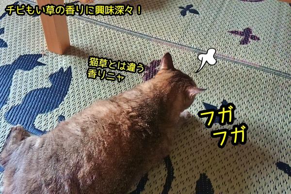 猫 い草ラグ