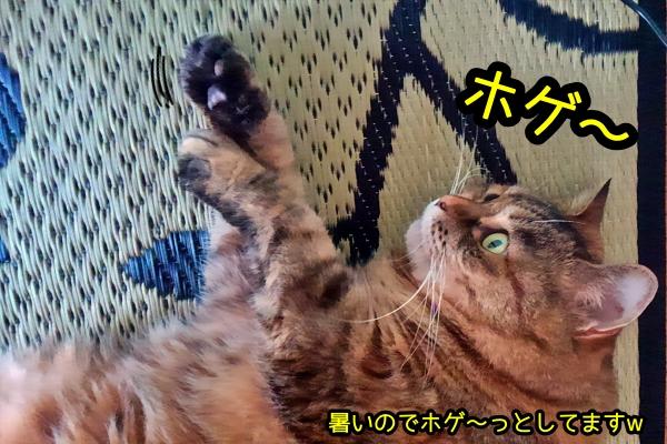 デブ猫 ニャポ