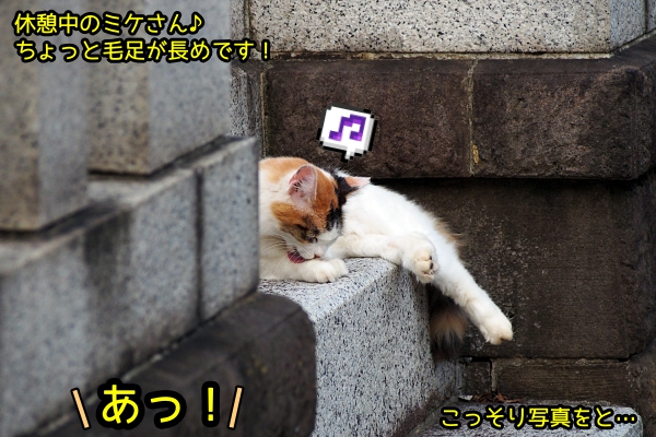 長毛三毛猫