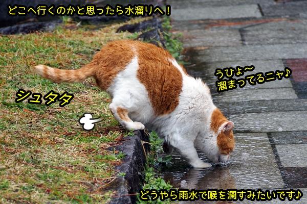 茶白猫 水飲み