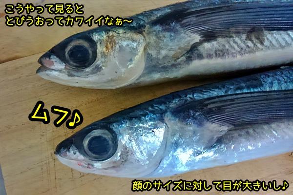 とびうお 刺身 魚 素人