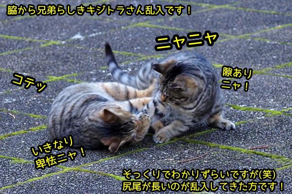 トラ猫 じゃれあい