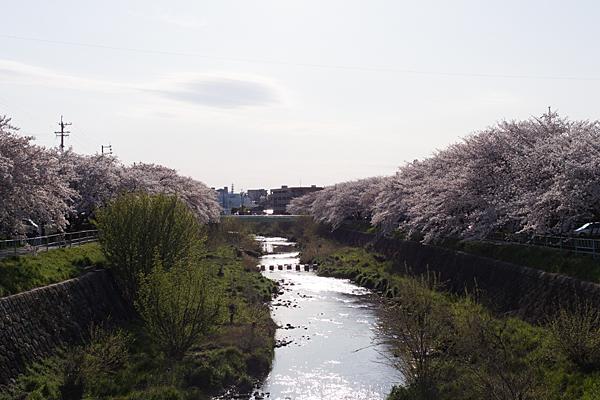香流川桜4