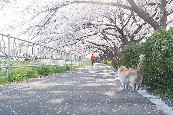香流川桜6