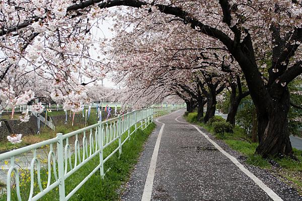 香流川桜雨