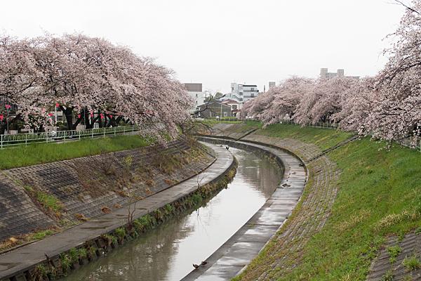 香流川桜雨10