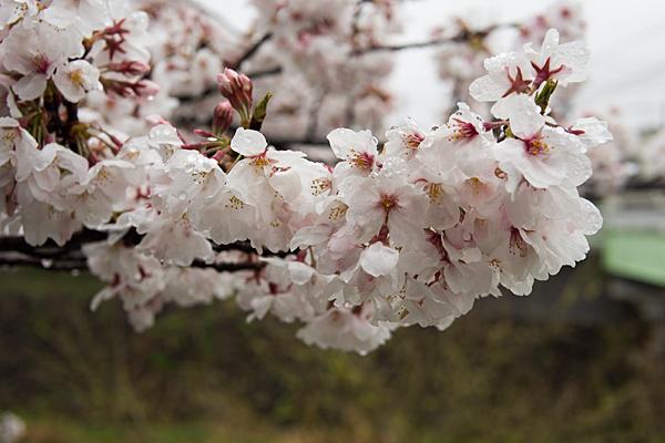 香流川桜雨3