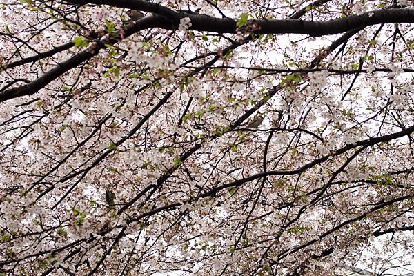 香流川桜雨5