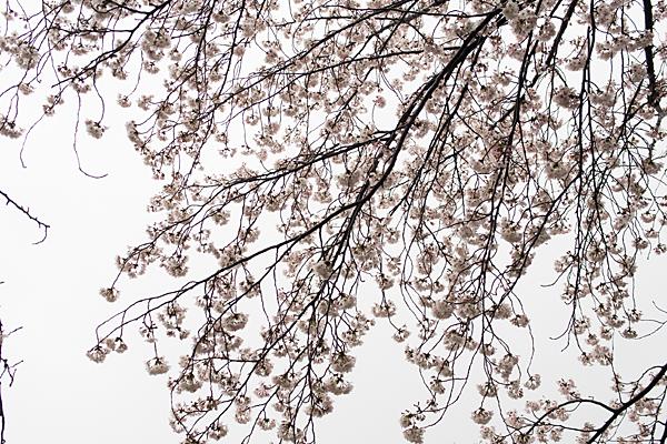 香流川桜雨7