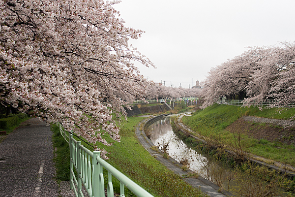 香流川桜雨8