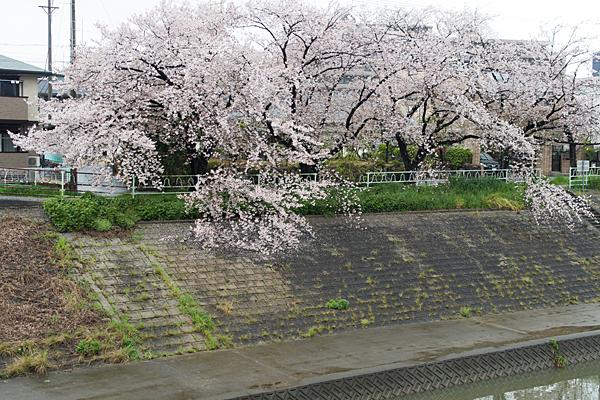 香流川桜雨9