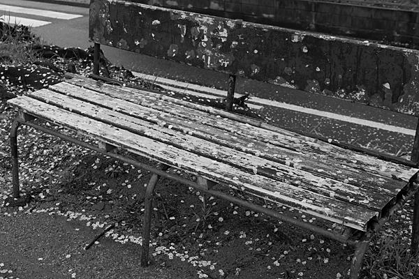 ベンチと桜
