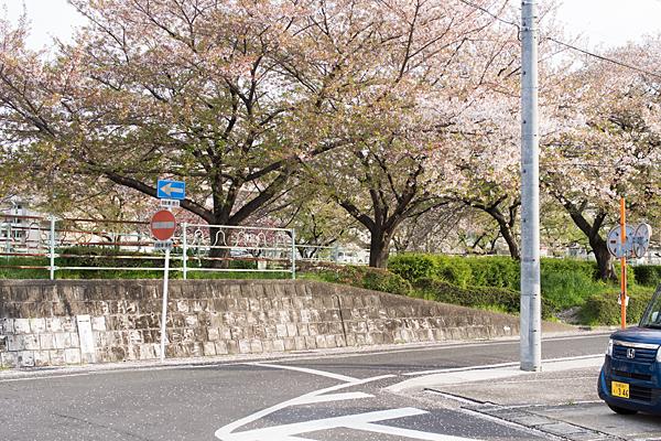 残桜香流川綠道並木
