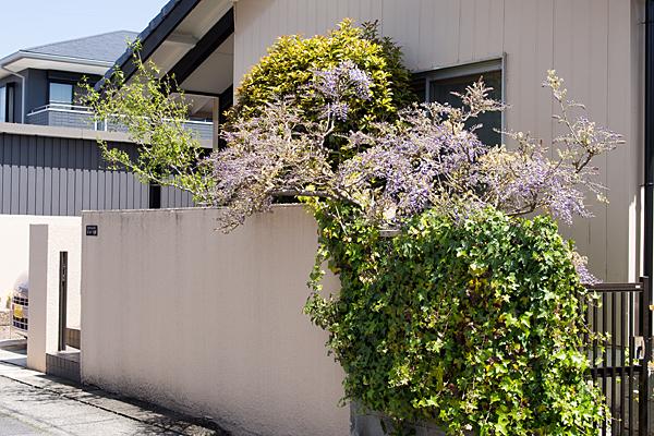 民家の藤の花