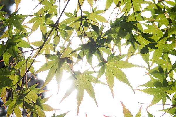モミジの青葉と太陽