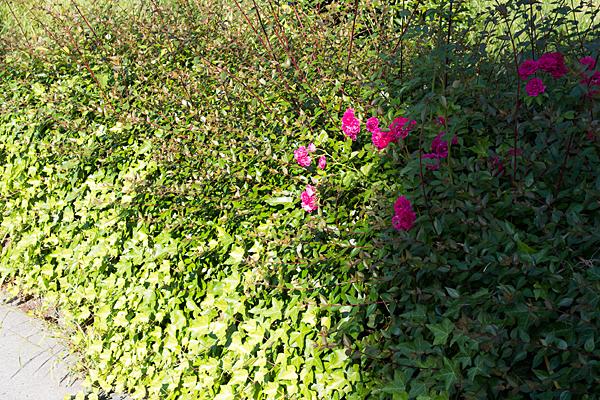 野生化したバラ