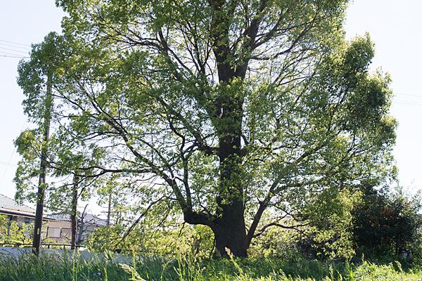 上町屋古墳の木