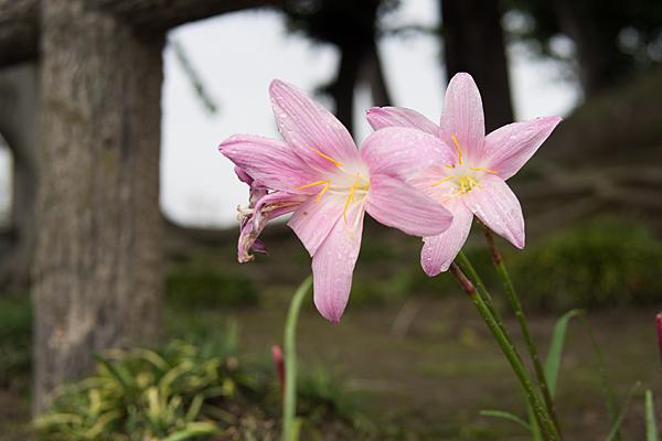 名前を忘れたピンク花