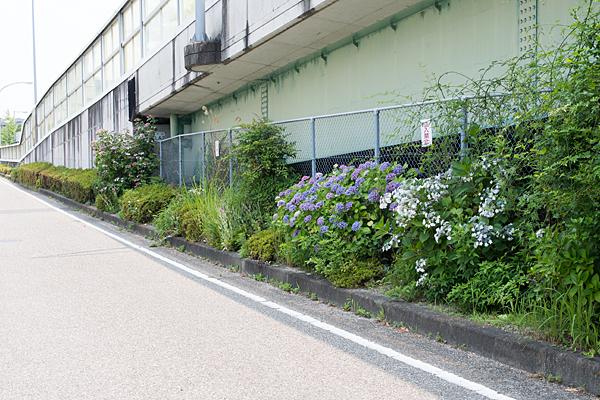 側道の紫陽花