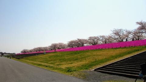 北区辺りの芝桜を眺めつつ南下します。