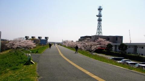 岩淵水門付近の桜