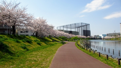 旧中川水辺公園も桜が満開