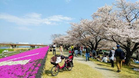 北区辺りの桜と芝桜。ここも沢山の人が訪れていました。