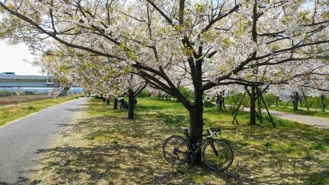 千本桜の下でユリーの記念撮影