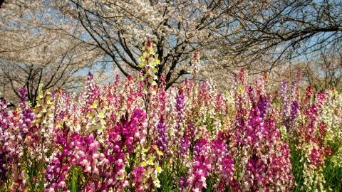 桜とルピナス