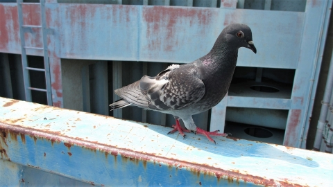 岩淵水門で人慣れた鳩さんが寄ってきましたが、何も持ってないのよね~ごめんね