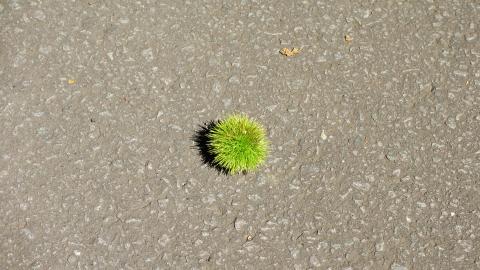 栗が落ちてました、秋ですねぇ…。