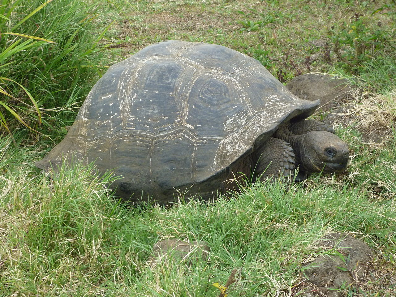 1280px-Gigantic_Turtle_on_the_Island_of_Santa_Cruz_in_the_Galapagos.jpg