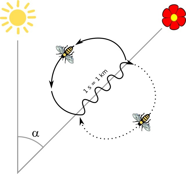 ミツバチのダンス - 太陽に対する角度が方向を示し、尻を揺する時間が距離を示す