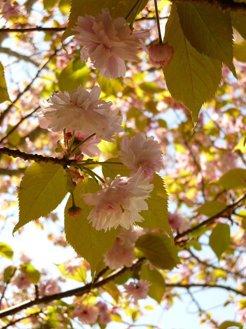 ナラノヤエザクラの花