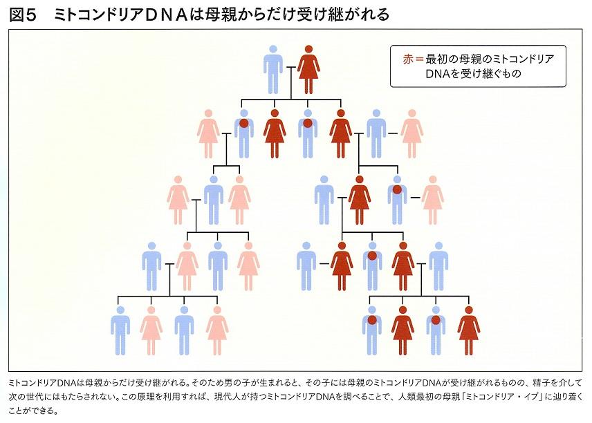 ミトコンドリアDNA 2