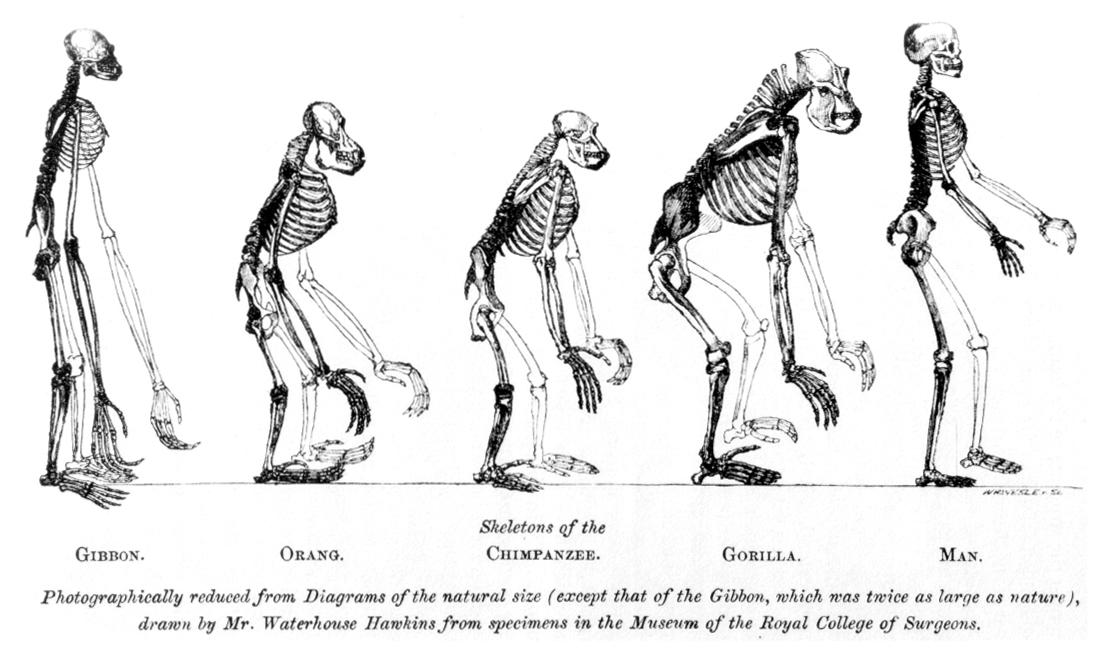 【生物学上の分類(?!)】 日本人=「ヒト」、朝鮮類人猿=「コリラ(Korilla)」、支那類人猿=「チナパンジー(Chinapanzee)」