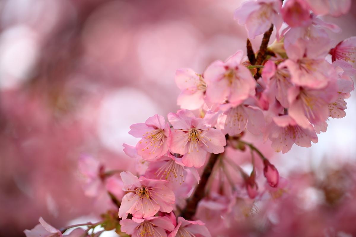 _V0A0045背景も桜