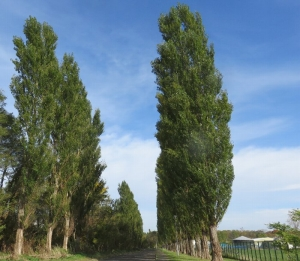 1026ポプラ並木