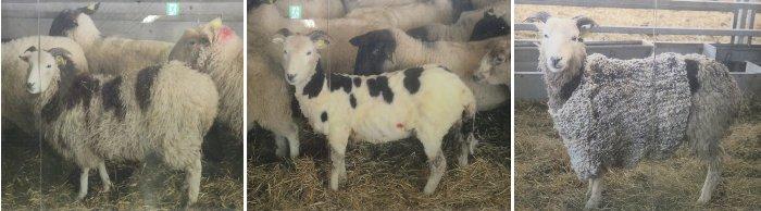 羊のセーターu