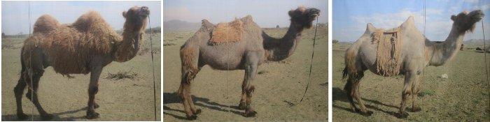 ラクダの鞍u